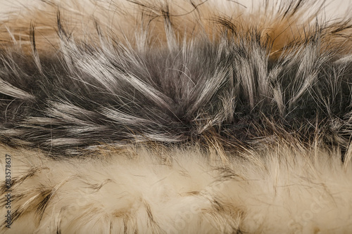 Fotografie, Obraz Thick fur of a raccoon dog. Fur animal texture. Horizontal shot