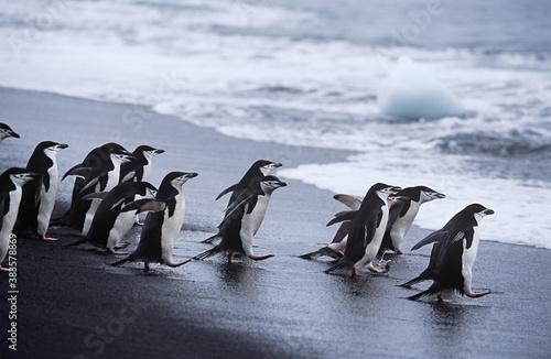 Leinwand Poster Chinstrap Penguins (Pygoscelis antarcticus) colony walking into sea