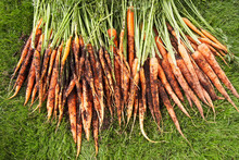 High Angle View Of Freshly Picked Carrots On Lawn