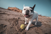 French Bulldog Playing With A ...