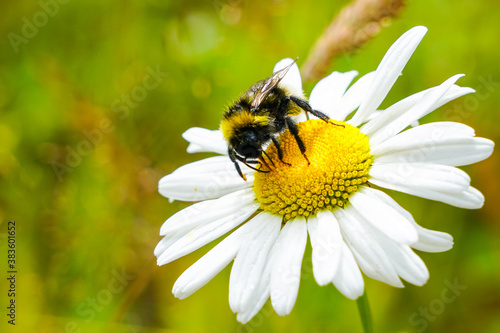 Canvas Print bumble bee sucks flower nectar from daisies