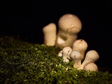Lycoperdon Perlatum, Common Puffball Mushroom Growing On Moss With A Black Background