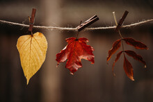 Fall Leaves On A String With Clothespins, Autumn Concept, Selective Focus