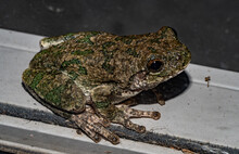 Gray Tree-frog