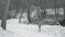 Whitetail Deer Buck With Antle...