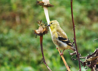Bird eating seeds