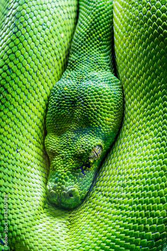 Fototapeta green tree python eye