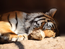 Handsome Tiger Resting And Bas...
