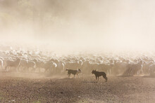 Sheepdogs Mustering Merino Sheep