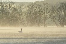 Misty Morning And A Swan On Th...