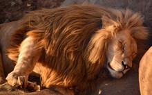 The Lion King Of Beasts Sleeps...