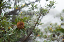 Banksia Seed Head And Bush In The Misty Rain At Leura