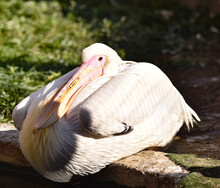 Great Pelican Resting After Successful Fishing