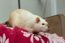 Fancy Pet Siamese Rat