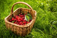 Freshly Picked Cherries In A B...