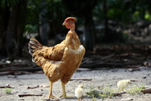 Mother Naked Neck Chicken With Her Two Chicks Walking The Farm