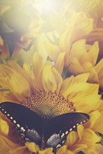 Sunflowers And Butterflies In ...