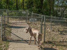 """Weimaraner Dog Waiting At A Chain Link Fence Gate, With A Small """"Please Close Gate"""" Sign At A Fenced In Dog Park.  Large Breed Dog Waiting Patiently For Owner To Open Gate."""