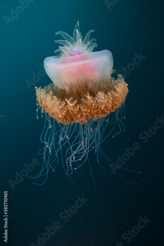 Fototapeta An intricate jellyfish floats on the reef