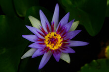 Nymphaea Nouchali Blue Lotus Close Up
