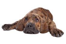 Brazilian Mastiff Or Fila Bras...