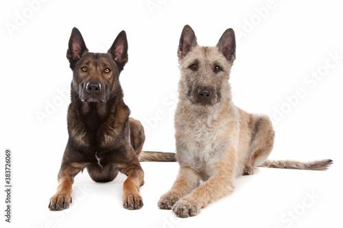 two Belgian shepherd dogs © Yay Images