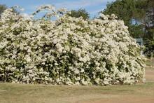 White Bougainvillea In Full Bl...