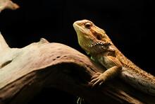 Close Up Bearded Dragon Lizard...