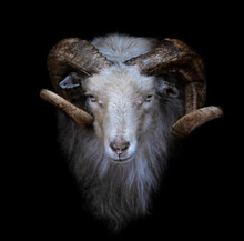 Ram With Big And Curved Horns On A Black Background