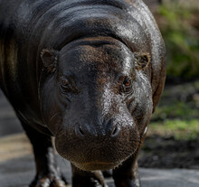 Portrait Of Pygmy Hippo In Black Background