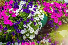 Multicolored Petunias Grow On ...