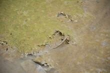 Mudskipper Fish Or Amphibious ...