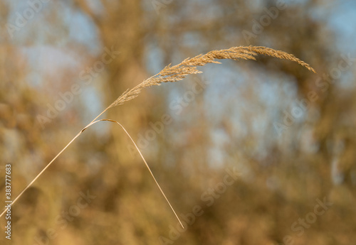 Fototapety, obrazy: detail of dry grass inflorescence
