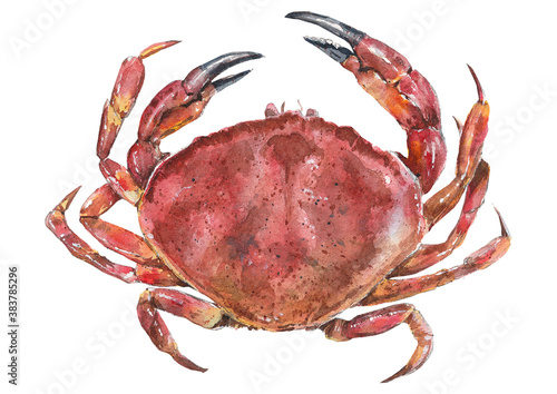 Fototapeta Watercolor illustration of a crab on a white background