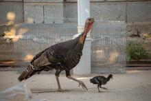 Turkey Walks Around The Yard W...