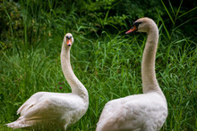 Pair Of Mute Swans (Cygnus Olor) Looking At Each Other Lear The Lake