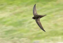 Common Swift. Bird In Flight, Flying Birds. Apus Apus