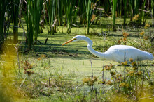 A Great Egret Walking Through Some Freshwater Marsh In Search Of Food At Bombay Hook National Wildlife Refuge.