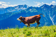 Cow Running In French Alps