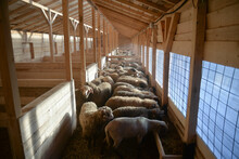 Shallow Depth Of Field With Flock Of Sheep Inside A Stable/ Barn/ Stall