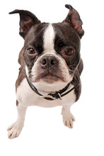 Boston Terrier Dog Close-up