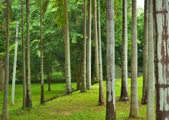 Green Betel palm