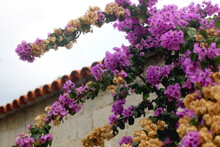Purple Bougainvillea Flowers I...