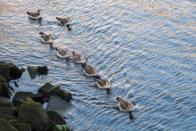 A Large Family Of Nile Geese S...