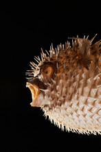 Closeup Of Spiny Balloonfish Over Black Background