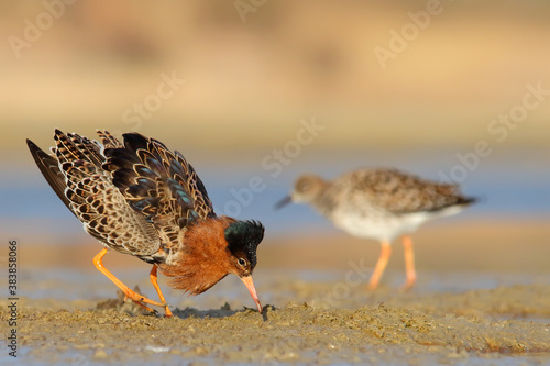 Fotomural Ruff, bird in breeding plumage in spring. Calidris pugnax