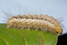 A Caterpillar Of The Buff Ermine Moth (Spilosoma Luteum)