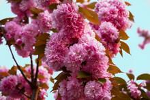 満開のピンク色の八重桜。