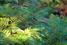 Green Fern Field In The Spanis...