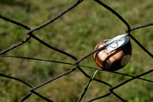 A Large Snail On A Wire Fence
